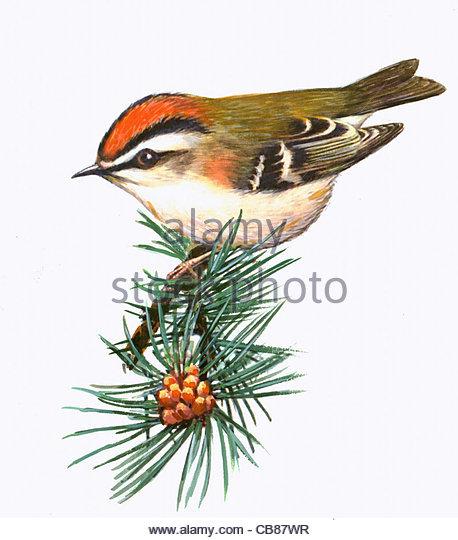 Sommergoldhhnchen Vogelarten Serie Songbird Stockbild