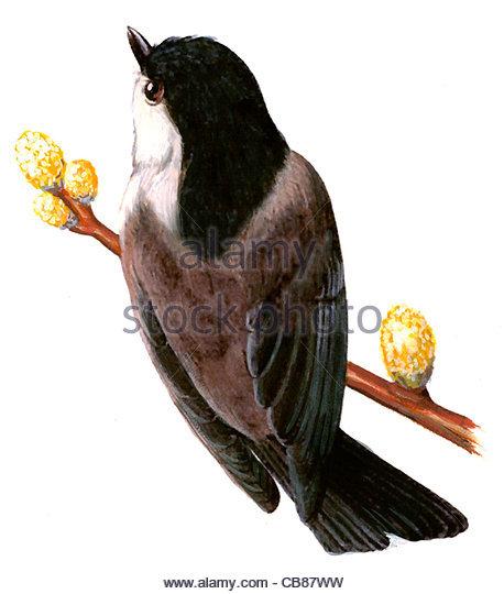 Willow Tit Vogelarten Serie Songbird Stockbild