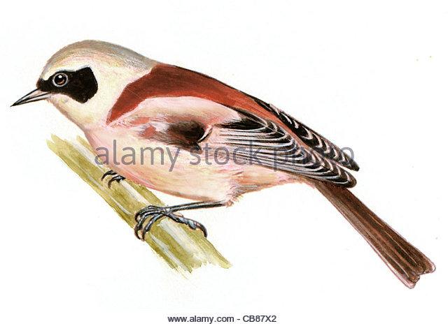Tit Vogelarten Serie Songbird Stockbild