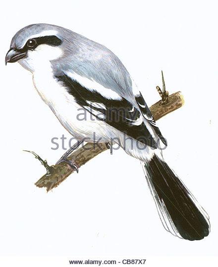 Raubwrger Vogelarten Serie Songbird Stockbild