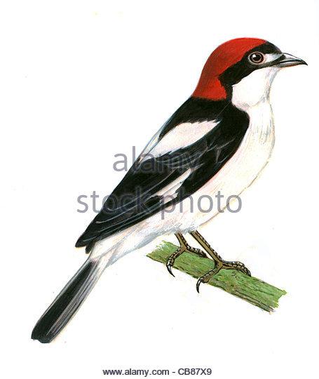 Rotkopfwrger Vogelarten Serie Songbird Stockbild