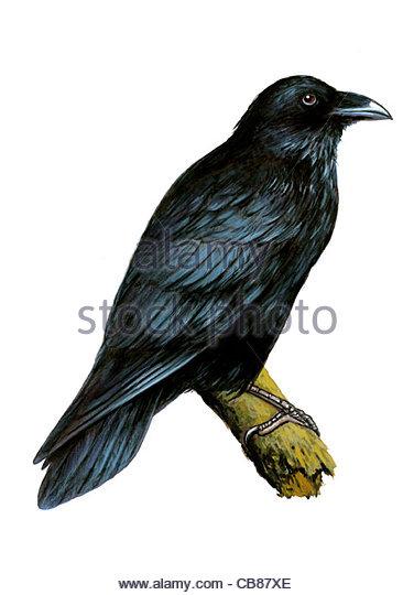 Ravens Vogelarten Serie Songbird Stockbild