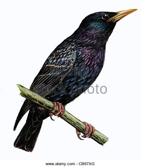 Sterne Vogelarten Serie Songbird Persönlichkeit Celebrity Promis Sterne pr Stockbild