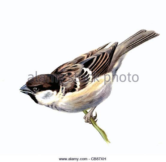 Tree Sparrow Vogelarten Serie Songbird Stockbild