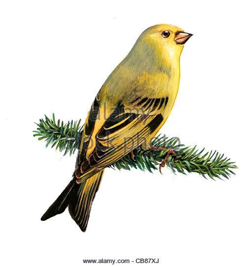 Zitronenzeisig Vogelarten Serie Songbird Stockbild