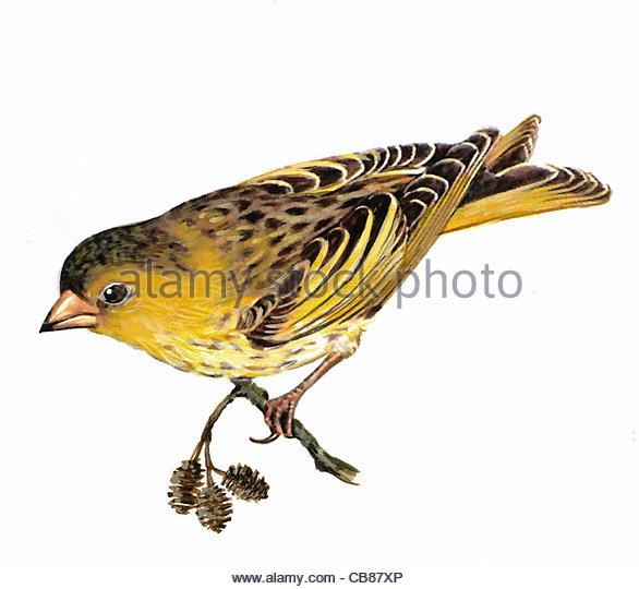 Erlenzeisig Vogelarten Serie Songbird Stockbild