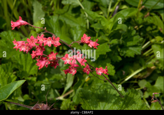 heuchera flower garden perennial stockfotos heuchera flower garden perennial bilder alamy. Black Bedroom Furniture Sets. Home Design Ideas