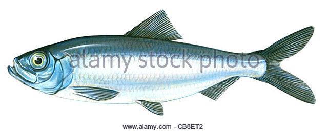 Serie Fisch atlantische Heringe Clupea Harengus Fisch Fische Stockbild