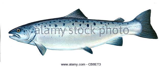 Serie Fisch Atlantischen Lachs Salmo salar Fisch Fische Stockbild