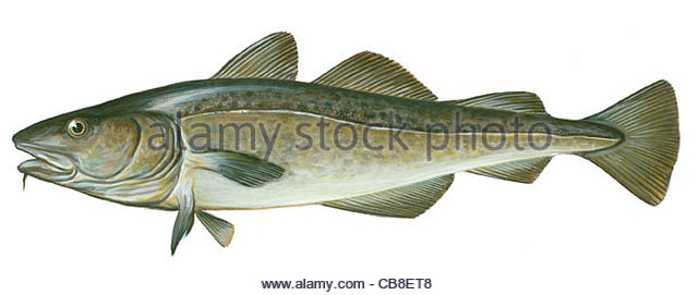 Serie Fisch Dorsch Kabeljau Gadus Morrhua Fische Stockbild