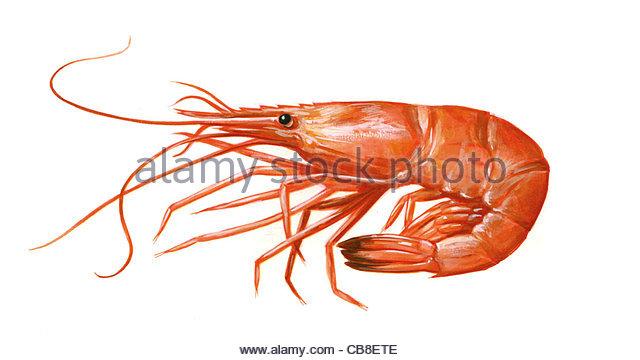 Serie Fisch, die Garnelen Palaemon Serratus gekocht, die Garnelen Garnelen fischen, Fische Stockbild
