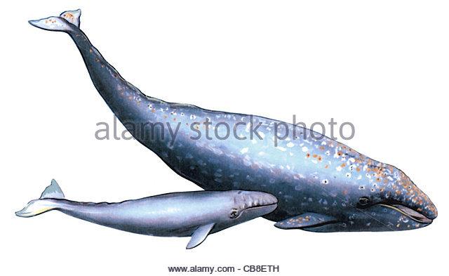 Serie Fisch Grauwal Walkuh mit junger Wal, den Wale Fischen, Fische Stockbild
