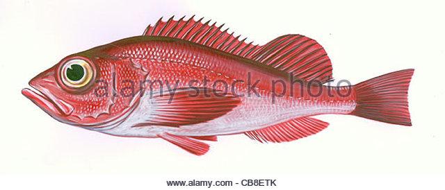 Serie Fisch Groër Rosefish Rotbarsch Sebastes Marinus Fisch Fische Stockbild