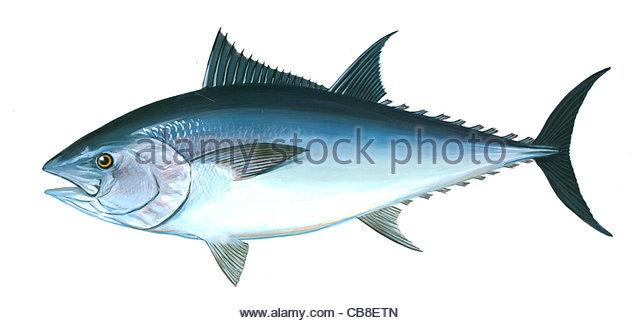 Serie Fisch Groër roter Thunfisch Thunnus Thynus Fisch Fische Stockbild