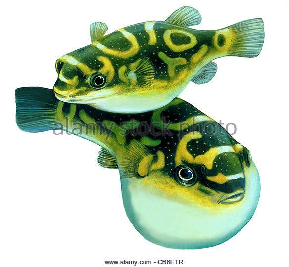 Serie Fisch Kugelfisch Fisch Fische Stockbild