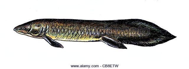 Serie Fisch, Lungenfisch Fischen, Fische Stockbild