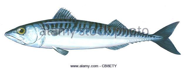 Serie Fisch Makrele Scomber Scombrus Fisch Fische Stockbild