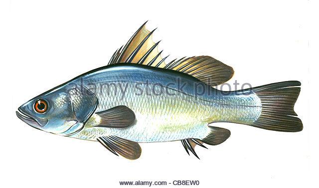 Serie Fisch Nilbarsch Lates Niloticus Victoria Barsch Fisch Fische Stockbild