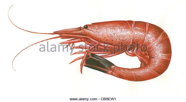 Serie, die Nordseekrabbe Granat Crangon Crangon Fisch gekocht Fisch Fische Stockbild