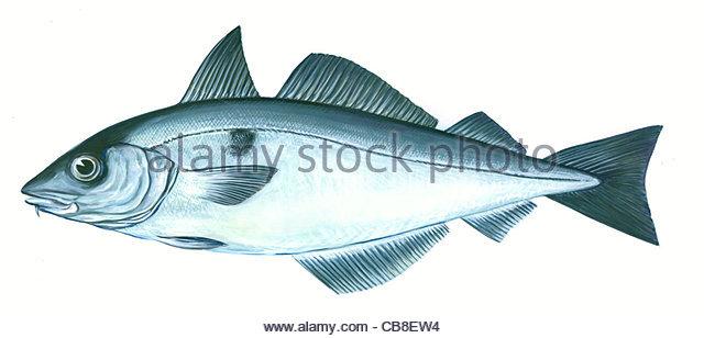 Serie Fisch Schellfisch Melanogrammus Aeglefinus Fisch Fische Stockbild