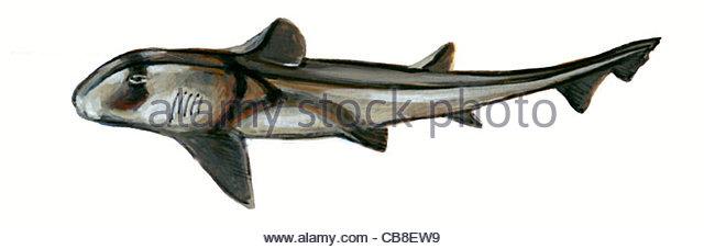 Serie Fisch, die Stierkopfhai Haie Fische Fische Stockbild