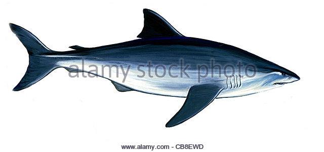 Serie Fisch Weier Hai Carcharodon Carcharias, die Haie Fische Fische Stockbild