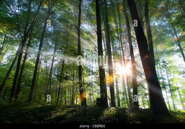 Sonnenstrahlen durchscheinen Wald Stockbild