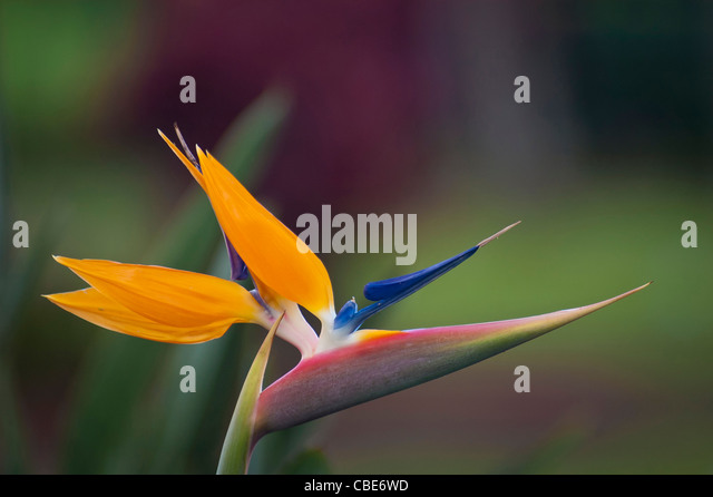 Paradiesvogel Blume (Strelitzia Reginae); Hawaii. Stockbild