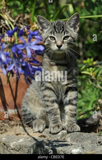 Hauskatze (Felis Catus, Felis Silvestris). Kätzchen im Garten sitzen. Stockbild