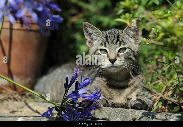 Hauskatze (Felis Catus, Felis Silvestris). Kätzchen im Garten liegen. Stockbild