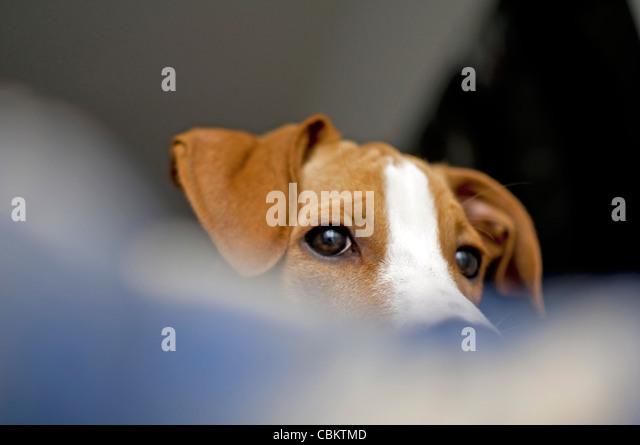 Junge braune Hund zu Hause Stockbild