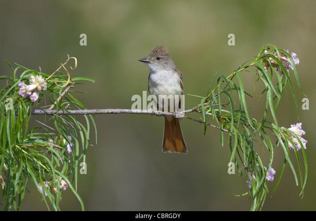 Asche-throated Flycatcher, Myiarchus Cinerascens Catalina State Park, Tucson, ARIZONA, USA April Erwachsenen Tyrannidae Stockbild