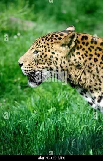 Jaguar auf grüne Landschaft im zoo Stockbild