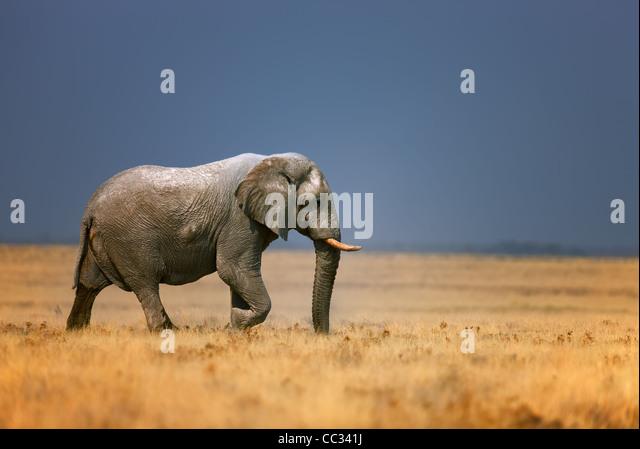 Elefantenbullen Wandern in offenen Wiese; Loxodonta Africana; Etosha Stockbild