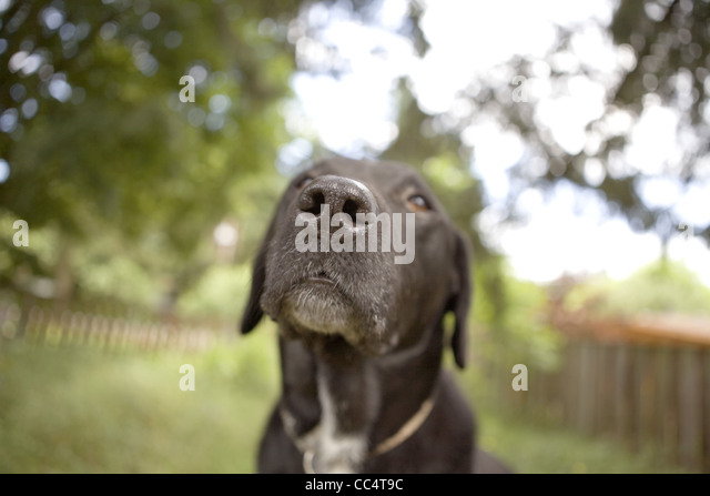 Labor und Pitt Bull Mix in Hof Stockbild
