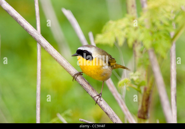 Gemeinsamen Yellowthroat Geothlypis Trichas Elkhorn Slough, Kalifornien, USA 23 April erwachsenen männlichen Stockbild