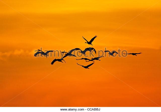 Kraniche fliegen Sie bei Sonnenaufgang Stockbild