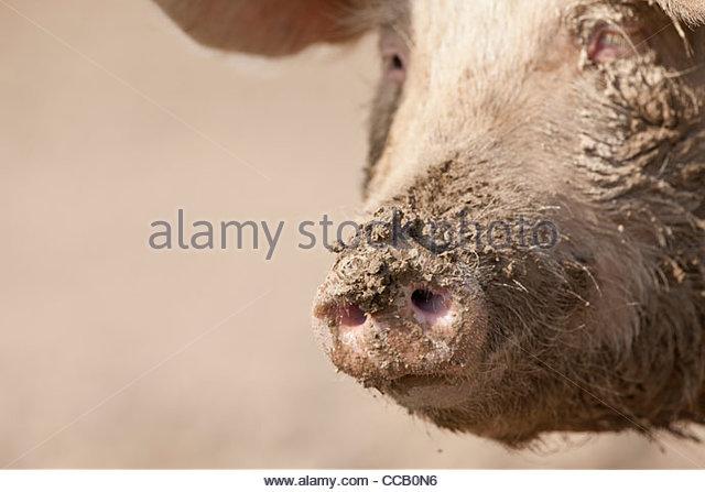 Nahaufnahme von schlammigen Schwein Schnauze Stockbild