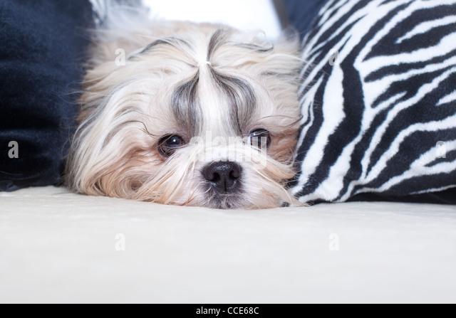 Shih Tzu Hund auf Bett mit Kissen. Stockbild