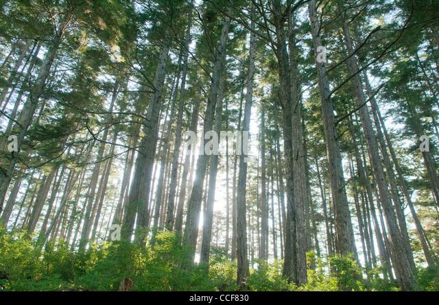 Wald auf Bamdoroshni Insel, Sitka, Alaska Stockbild