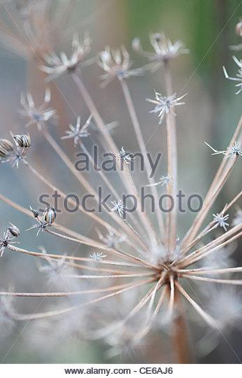 Foeniculum Vulgare 'Bronze Form' (Bronze-Fenchel) getrocknet Seedheads im winter Stockbild