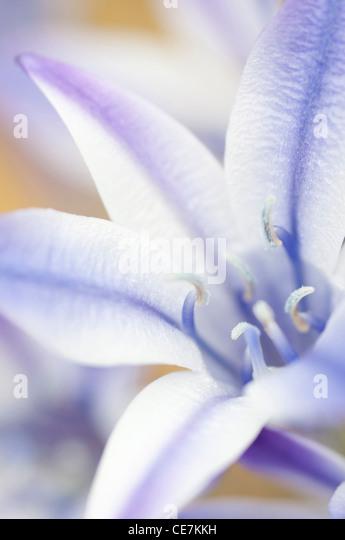 Grafischen Nahaufnahme einer einzelnen weißen und lila gestreifte Blume der Triteleia Laxa Rudy Ithuriel Speer Stockbild