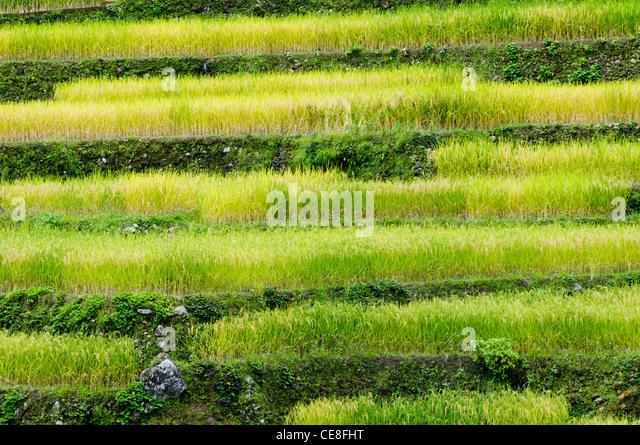 eine Seitenansicht der Reisterrassen in Philippinen. Stockbild