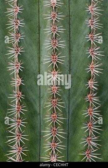 Pilosocereus Azureus. Blue Torch Kaktus Muster Stockbild