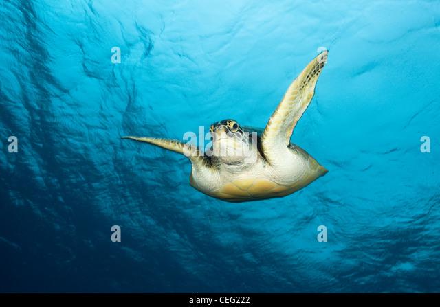 Green Sea Turtle, Chelonia Mydas, Baa-Atoll, Indischer Ozean, Malediven Stockbild