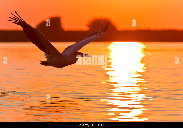 Pelikan im Flug Stockbild