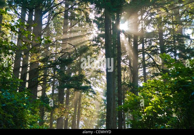 Sonnenstrahlen durchscheinen Bäume im Wald, Cape Lookout State Park, Oregon Stockbild