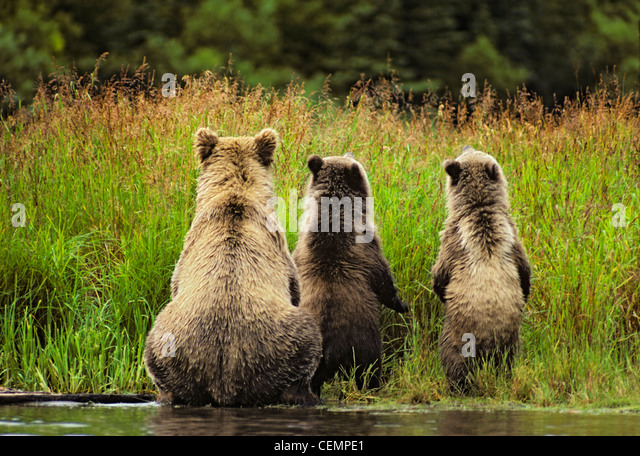 Grizzly Bear Family von hinten Stockbild