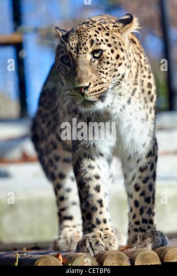 Iranischer leopard Stockbild