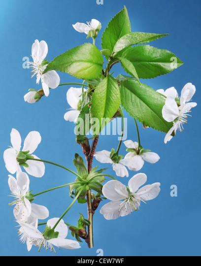 Drei Kirschenblüten auf blauem Grund. Stockbild